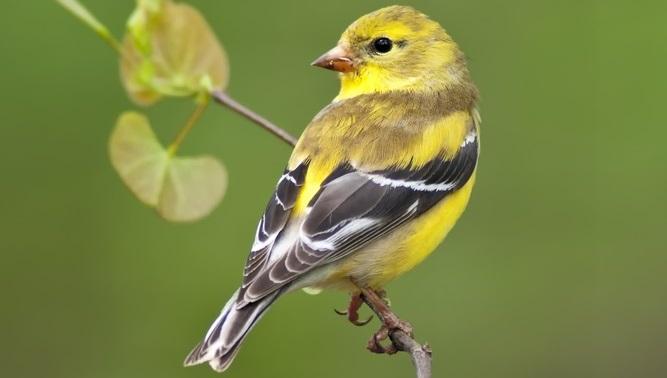 Little Yellow Bird >> How To Attract Finches In Your Backyard Backyard Birds The Bird